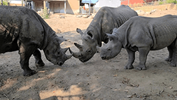 Rhinos Together