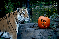 Tiger with Pumpkin