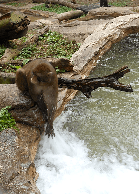 Japanese Macaque sticking its hand into the water