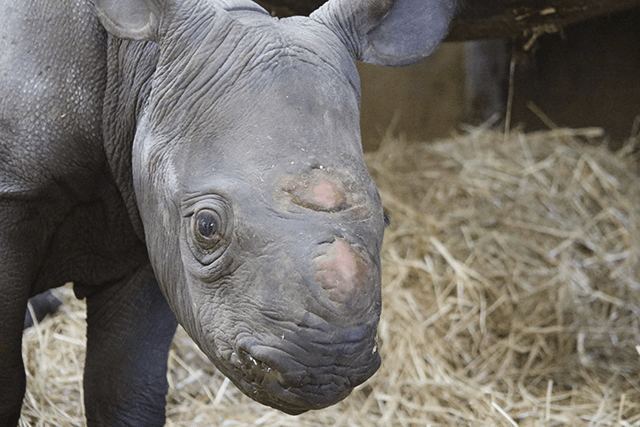 close up picture of the rhino calf