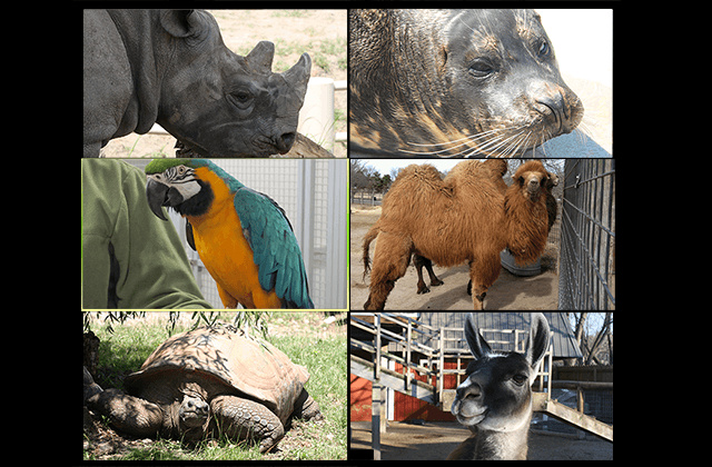 Zoom Meeting with rhino, macaw, llama, tortoise and camel