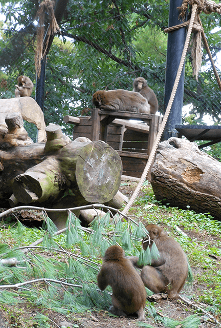 Group of Japanese Macaques at Blank Park Zoo