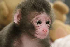 Japanese Macaque born on June 3