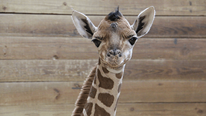 View post titled Giraffe Calf Born at Blank Park Zoo